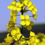 Řepka olejka, užívaná pro výrobu biosložky, zvané MEŘO. Zdroj: Wikimedia