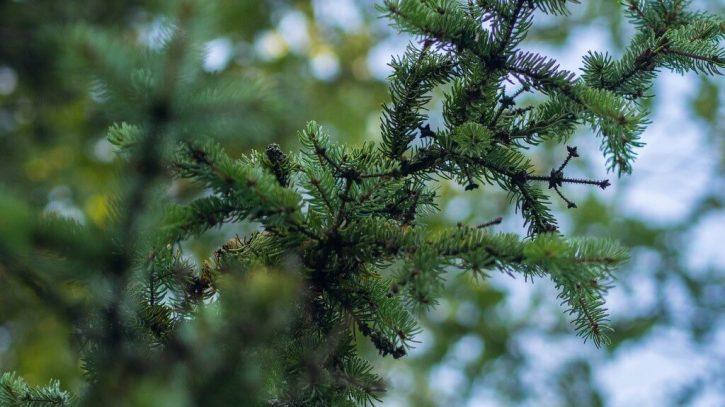 conifer-938692_1280
