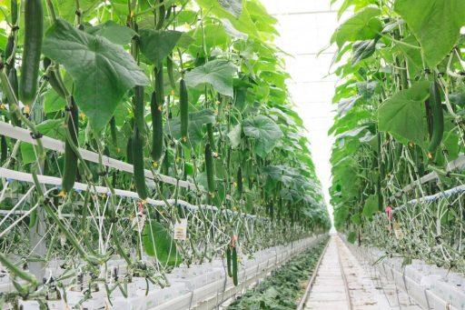 Skleník v Ontariu. Ontario Greenhouse. Zdroj: NatureFresh Farms