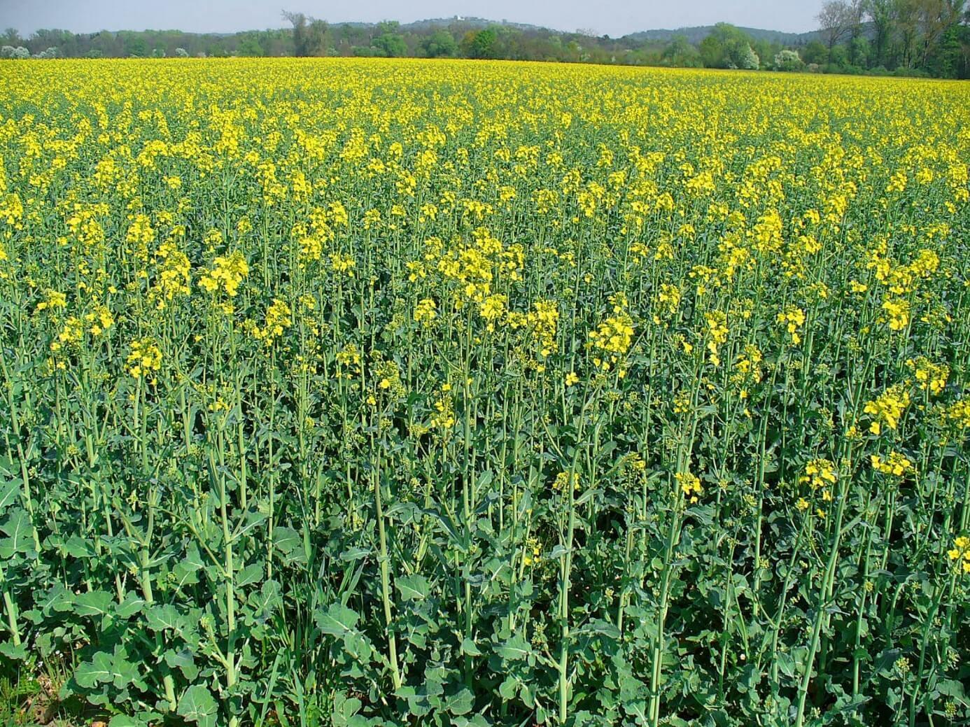 Bude se u nás na základě nové energetické koncepce vlády Andreje Babiše kromě masivního pěstování řepky pro biopaliva masivně pěstovat i kukuřice pro bioplynové elektrárny? (zdroj H. Zell, Wikimedia).